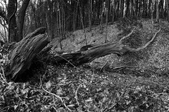 Long Dead Tree (evans.photo) Tags: tree dead woodland woods trees nature blackandwhite winter ceredigion wales cymru