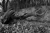 Long Dead Tree (evans.photo) Tags: tree dead woodland woods trees nature blackandwhite winter ceredigion wales cymru