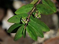 Graceful Sandmat (Euphorbia hypericifolia), North Miami Beach, FL, 2-5-18