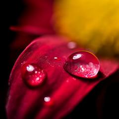 Daisy Dew! (bharathputtur122) Tags: macromondays lessthananinch daisy dew drop macro mondays nikon nikkor d750 105mm
