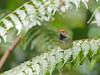 Dark-necked Tailorbird (ChongBT) Tags: nature natural wild wildlife animal bird avian malaysia bukit tinggi orthotomus atrogularis dark necked tailorbird tailor orthotomusatrogularis