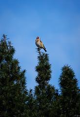 Top Goldfinch (Hector Patrick) Tags: lightroom614 northyorkmoors northyorkshire panasonicgxvario45175pz rosedaleabbey britnatparks goldfinch panasonicdmcgx80 flickrelite