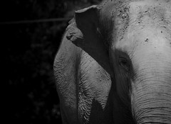 Elephant (SawardPhotography) Tags: elephant black white australia zoo