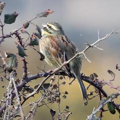 Cirl Bunting (geoffacampbell) Tags: devon birds dawlishwarren cirlbunting travel uk britishbirds england unitedkingdom gb