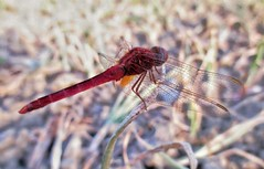 DragonFly (AyonSaha_Jr) Tags: wing close environment outdoors wildlife insect garden invertebrate flora closeup nature dragonfly wild little fly grass