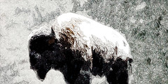 Bison in a Blizzard (amarcord108) Tags: bison amarcord108