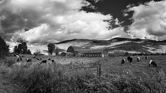 Untitled (Nicholas Erwin) Tags: landscape paysage clouds cows animals farm barn dramatic dark contrast nature naturephotography blackandwhite monochrome bw mono nikon d610 nikkor 2018g waterbury waterburycenter vermont vt unitedstatesofamerica usa america mountain rural country countryside fav10 fav25 fav50