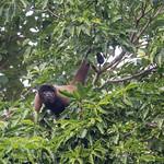 Peruvian Woolly Monkey thumbnail