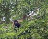 Peruvian Woolly Monkey (Tris Enticknap) Tags: peruvianwoollymonkey manú peru nikond750 southamerica nikkor300mmf4epfedvrlens iucnendangeredspecies lagothrixcanna manúbiospherereserve manúnationalpark tropicalrainforest akageoffreyswoollymonkey amazonbasin