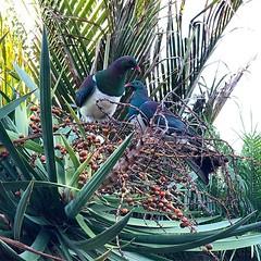 Today's #visitors #woodpigeon #kereru (brown.max51) Tags: ifttt instagram