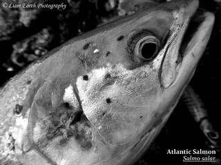 Atlantic Salmon - Salmo salar