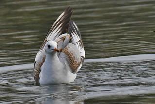 Mouette rieuse - Chroicocephalus ridibundus - Black-headed gull       -