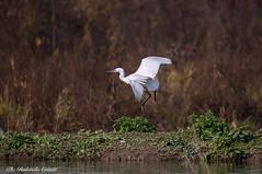 Garzetta _045 (Rolando CRINITI) Tags: garzetta uccelli uccello birds ornitologia racconigi natura