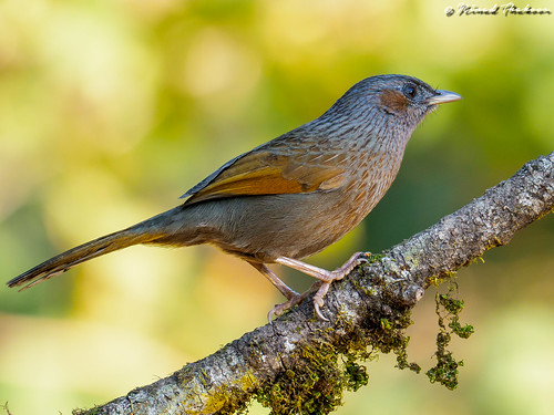 """Streaked Laughingthrush (LIfer) • <a style=""""font-size:0.8em;"""" href=""""http://www.flickr.com/photos/59465790@N04/26402426468/"""" target=""""_blank"""">View on Flickr</a>"""