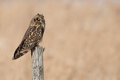 Short Eared Owl (NicoleW0000) Tags: shortearedowl owl wildlife