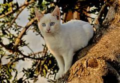 Lovely Blue Eyes (gerard eder) Tags: natur nature naturaleza animals animales tiere cats gatos katzen haustiere