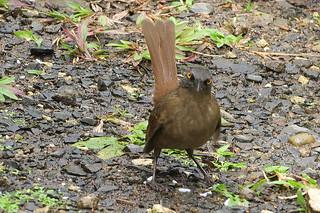 Le moqueur trembleur - Guadeloupe