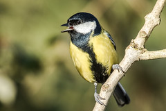 Great Tit (Greatoutdoorman) Tags: birdperfect parusmajor wildlife perched tit colourful closeup bird britishbirds
