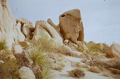 Joshua Tree (hyekab25) Tags: ricoh filmcamera 35mmcolourfilm 35mm 35mmcolorfilm film