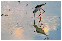黑翅長腳鷸 Black-winged Stilt (Alice 2018) Tags: reflection nature hongkong 2017 canonef300mmf4lisusm canoneos7d eos7d canon 300mm wetland water winter bird aatvl01