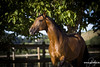 EXPLOSAO LAGOALVA (ICL) - H PSL - 25/07/2009 (HARAS DE LA GESSE) Tags: lusitanien lusitano dressage elevage breed poulain pouliche cheval horse foal
