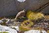 Whoa, a White-tailed Ptarmigan (jpmckenna - Packrafting North Carolina) Tags: 14000 bigsekiloop jmt johnmuirtrail pct pacificcresttrail seki sierras splitmountain hiking hikingcalifornia peakbagging whitetailed ptarmigan