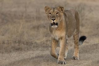 Asiatic Lion | Panthera leo leo | शेर