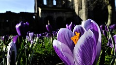 """ i been warped by the rain driven by the snow i'm drunk and dirty doncha know and i'm still oh i'm still..."" (hope2029) Tags: crocus bokeh macro abbey sunshine spring kirkstall yorkshire west leeds"