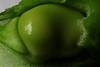 Broad bean in the pod (Alfredo Liverani) Tags: macromondays macro mondays closeup mm hmm italy pov dof lessthananinch canong5x canon g5x pointandshoot point shoot ps flickrdigital flickr digital camera cameras cibo food lebensmittel aliments alimenti alimento kitchen cucina inthekitchen incucina