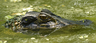 Nature's finest predator @ Madras Crocodile Bank, India