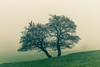 Twins in the mist. (Captainchaoz) Tags: trees mist fog gloucestershire