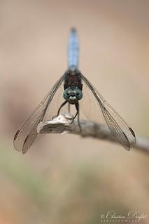 Keeled Skimmer / Kleiner Blaupfeil (Orthetrum coerulescens)