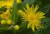 Muenster 05012018 7 (Dirk Buse) Tags: münster nordrheinwestfalen deutschland deu nrw germany de blüte farbe color colour natur nature gelb yellow olympus omd em1ii zuiko pro 40150 4015028 mft m43
