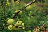Ebaküdooniad. Chaenomeles (Jaan Keinaste) Tags: pentax k3 pentaxk3 eesti estonia loodus nature ebaküdoonia chaenomeles