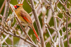 Miss Cardinal (vernonbone) Tags: 1855kitlens 2017 2018 500mm d3200 eastpointpark january lakeontario ontario birds cardinalbirdsred closeup colors nikon outside red reddish sigma winter