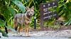 Coyote (Bob Gunderson) Tags: botanicalgardens california coyotes goldengatepark mammals northerncalifornia sanfrancisco wildlife