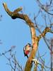 Harte Arbeit 2- hard work2 (Anke knipst) Tags: buntspecht woodpecker greatspottedwoodpecker vogel bird holm sandberge erholungsgebiet holmersandberge rot red