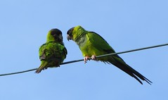 Nanday Parakeets (YoungSue) Tags: parakeet nanday nandayparakeet blackhoodedparakeet