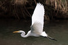 Great egret (jim_mcculloch) Tags: egrets herons d858318 birds