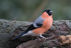 Bullfinch male (RobLesliePhotography) Tags: leica100400mm g80