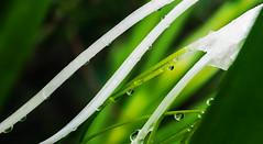 Inspired (D J Millard) Tags: spider lily backyard flower green white hymenocallis littoralis lines inspiration