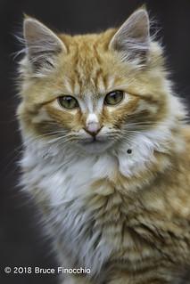 Portrait Of Tawny Kitten