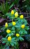 Aconites 4 (margaretc1946) Tags: aconite wildflower gloucestershire pentaxk3 tamron90mmf28macrolens
