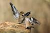 Frosoni (MaOrI1563) Tags: parcodellapianadisestofiorentino parcodellapiana sestofiorentino firenze fauna cacciafotografica uccelli oasi poderelaquerciola frosone frosoni