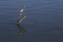 K-Birds (R.D. Gallardo) Tags: kbirds birds pajaro pajaros reflections reflejo animal canon eos 6d tamron 70200 f28 vitoria