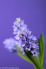 "Spring on our table,  ""Hyacinth"" (Fred / Canon 70D) Tags: jinbei falconeyesdiffusionumbrella jinbeidiffusionjumboumbrella falconeyesskk2150d falconeyes ef100mmf28lmacroisusm canon70d canoneos canon flowers macro closeup eefde perfectlyclearsev3"