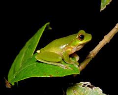 Barrington Tops Tree Frog (Litoria barringtonensis) (Gary Stephenson) Tags: rainforest sandpaperfig australianfrog treefrog coffsharbour bruxnerparkfloralreserve