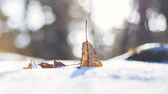 Cold (etsie74) Tags: cold leave leaves nature snow bokeh sun light colors frozen burried shadow soft pure forrest veluwe nunspeet
