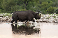 Black Rhino, Etosha (zimbart) Tags: etosha namibia namutoni africa fauna vertebrata mammals diceros dicerosbicornis perissodactyla