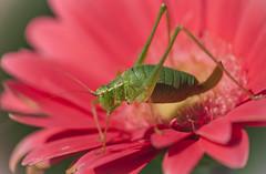 Speckled bush-cricket (vlaeminckphotography) Tags: insect green speckled bush cricket flower pink yellow macro nikon d90 nikkor raynox dcr250 close up color colour vibrant